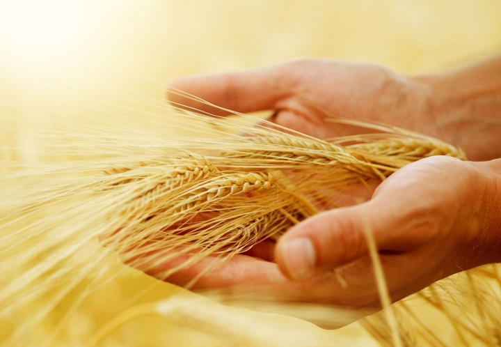A person's hand holding heads of wheat.